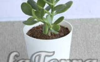 Растение толстянка