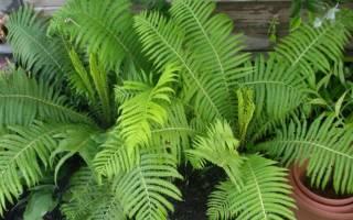 Комнатное растение папоротник можно ли держать дома