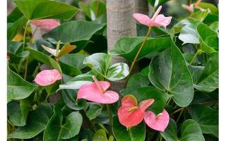 Цветок антуриум уход в домашних