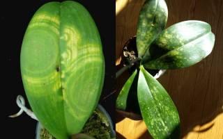 Почему у орхидеи чернеют листья