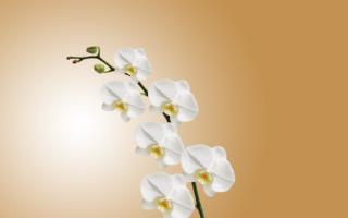 Опали цветы у орхидеи что делать