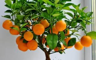 Как выглядит мандариновое дерево