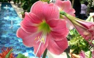 Почему не цветет амариллис