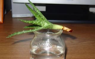 Как посадить алоэ без корня
