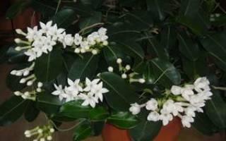 Жасмин цветок уход в домашних условиях