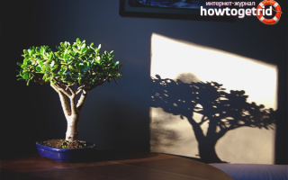 Как правильно растить денежное дерево