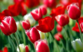 Кустовые тюльпаны посадка и уход