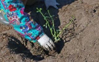 Когда сажать розы в открытый грунт