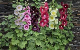 Мальва цветок как вырастить