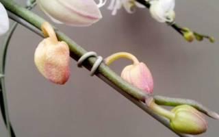 Почему опадают бутоны у орхидеи что делать