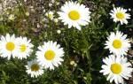 Садовые ромашки посадка и уход