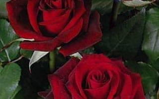 Подкормка роз дрожжами