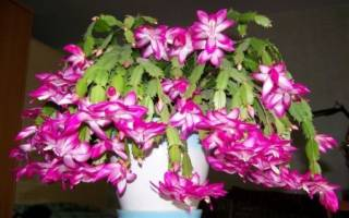 Декабрист цветение