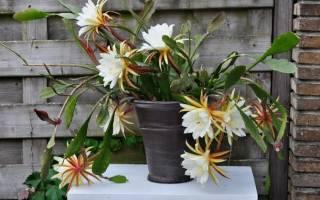 Почему не цветет эпифиллум
