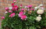Цветок из лютиковых