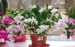Декабрист цветок в домашних условиях размножение