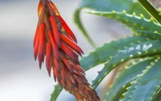 Как часто цветет алоэ