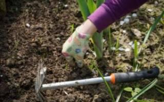 Когда садить луковицы тюльпанов