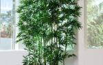 Бамбук в воде уход в домашних условиях