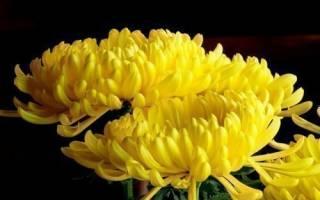 К чему дарят белые хризантемы