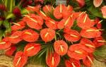 Как пересадить цветок мужское счастье