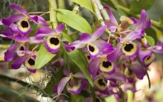 Орхидея дендробиум уход в домашних