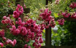 Виды плетистых роз