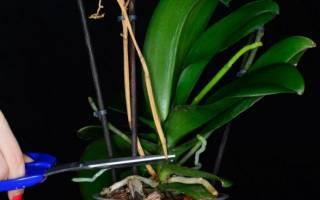 Орхидея фаленопсис отцвела что делать дальше