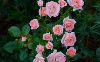 Роза спрей лавли лидия