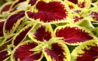Домашние цветы на букву к