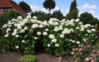 Гортензия садовая размножение черенками