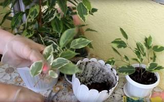 Как посадить отросток фикуса без корней