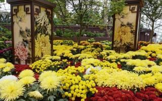 Какие бывают хризантемы