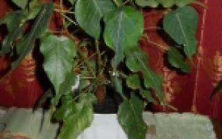 Фикус священный эдем из семян