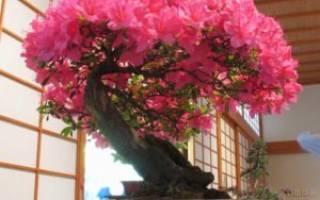 Бонсай японское дерево