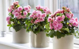 Бегония комнатное растение как ухаживать