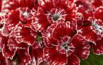 Турецкая гвоздика выращивание из семян когда сажать