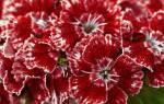 Турецкая гвоздика семена