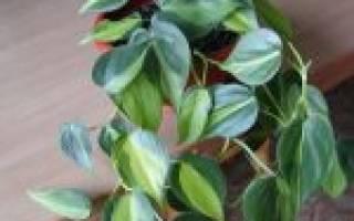 Филодендрон уход в домашних условиях