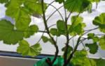 Белеют листья у герани что делать
