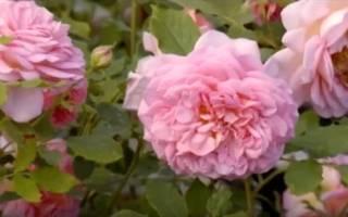 Цветы пионовидные розы