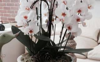 Можно ли пересадить цветущую орхидею фаленопсис