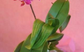 Почему у орхидеи листья стали мягкими