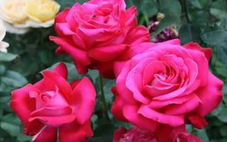Роза чайно гибридная что это такое