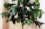 Кофейное дерево уход в домашних условиях