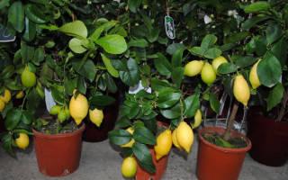 Лимонное дерево из косточки в домашних условиях