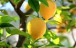 Лимонное дерево в домашних условиях