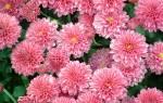 Почему не цветет хризантема комнатная