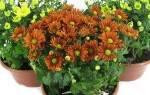 Хризантема уход в домашних условиях