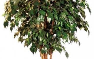 Фикус бенджамина желтеют листья